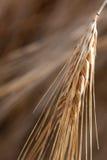 головка детали ячменя Стоковая Фотография RF
