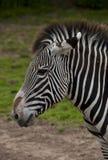 Головка зебры Стоковая Фотография RF
