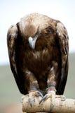 головка изогнутого орла золотистая Стоковое Изображение RF