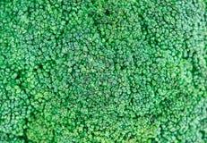 головка капусты брокколи свежая зеленая Стоковые Изображения RF