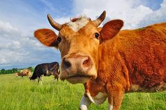 головка коровы Стоковые Изображения RF