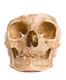 головка косточки Стоковая Фотография