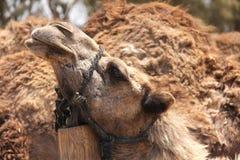 головка крупного плана верблюда Стоковая Фотография