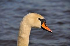 Головка лебедя Стоковое фото RF