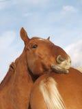 Головка лошади пунша суффолька Стоковое фото RF