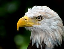 головка облыселого орла Стоковое фото RF