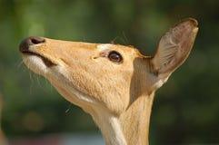 головка оленей Стоковые Изображения