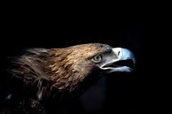 головка орла предпосылки черная Стоковые Изображения RF