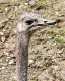 Головка страуса Стоковая Фотография