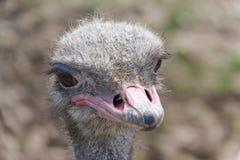 Головка страуса стоковые изображения rf