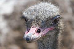 Головка страуса стоковое фото rf