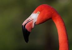 головка фламингоа Стоковая Фотография