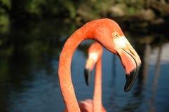 головка фламингоа стоковое изображение rf