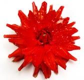 головка цветка астры Стоковая Фотография