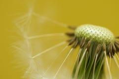 головка цветка одуванчика Стоковые Изображения RF