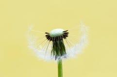 головка цветка одуванчика Стоковые Изображения