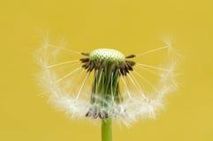 головка цветка одуванчика Стоковая Фотография RF