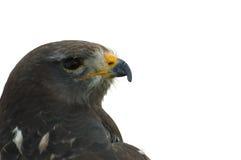 головка buzzard Стоковое фото RF