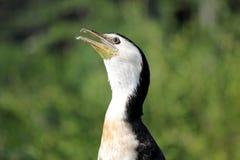 головка cormorant стоковое изображение rf