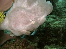 Головка Frogfish Стоковое Изображение