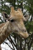головка giraffe Стоковое Изображение
