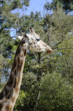 головка giraffe Стоковое Фото