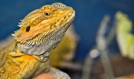 Головка vitticeps Pogona (бородатого дракона) Стоковое фото RF