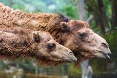 головки верблюда Стоковое Изображение