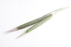 головки зерна зеленые Стоковые Фото
