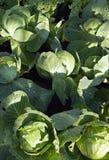 Головки капусты Стоковое фото RF