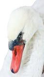 головная белизна лебедя Стоковое Фото