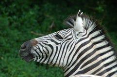 головная зебра Стоковая Фотография RF