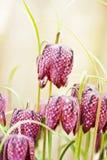 головная змейка лилии s Стоковое Изображение RF
