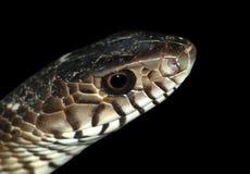 головная змейка Стоковые Фотографии RF
