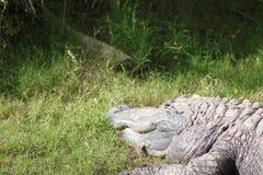 Головная и передняя рука крокодила Стоковые Фотографии RF