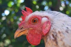 головная курица Стоковое Фото