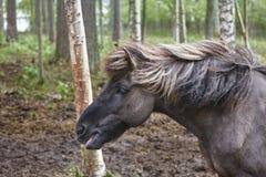 Головная лошадь в ландшафте леса Финляндии Животная предпосылка Стоковые Изображения