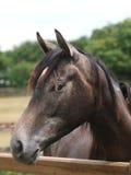 головная лошадь довольно Стоковое Изображение RF