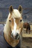 головная лошадь Стоковое Фото