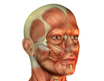 головная мышца человека Стоковое Фото