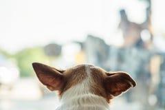 Головная собака чихуахуа ища что-то в комнате Стоковые Фотографии RF