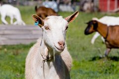 Головная съемка белой женской козы стоя в paddock Стоковое Изображение RF