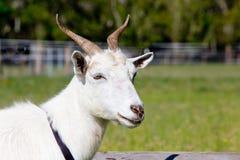 Головная съемка белой женской козы с рожками Стоковое Изображение