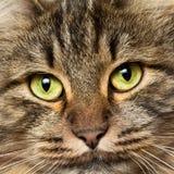 Головная съемка норвежского кота пущи стоковое фото rf