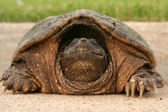 головная щелкая черепаха Стоковые Изображения