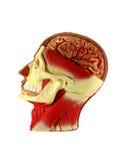 Головное людское анатомирование Стоковые Изображения RF