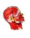 Головное людское анатомирование Стоковые Фото
