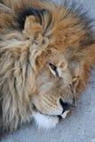 головной львев Стоковое Изображение RF