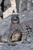 головной морской пехотинец ящерицы лавы игуаны Стоковые Изображения