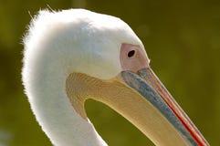 головной пеликан Стоковое Фото